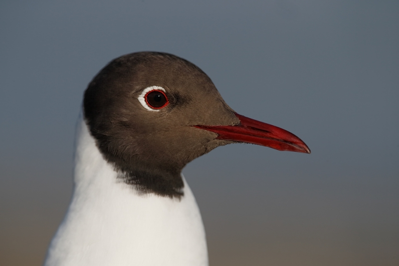 black-headed-gull-head-portrait-_q8r0612-texel-holland