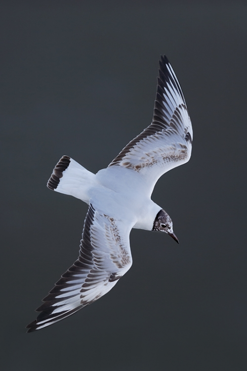 black-headed-gull-immature-flight-from-above-_q8r1867-texel-holland