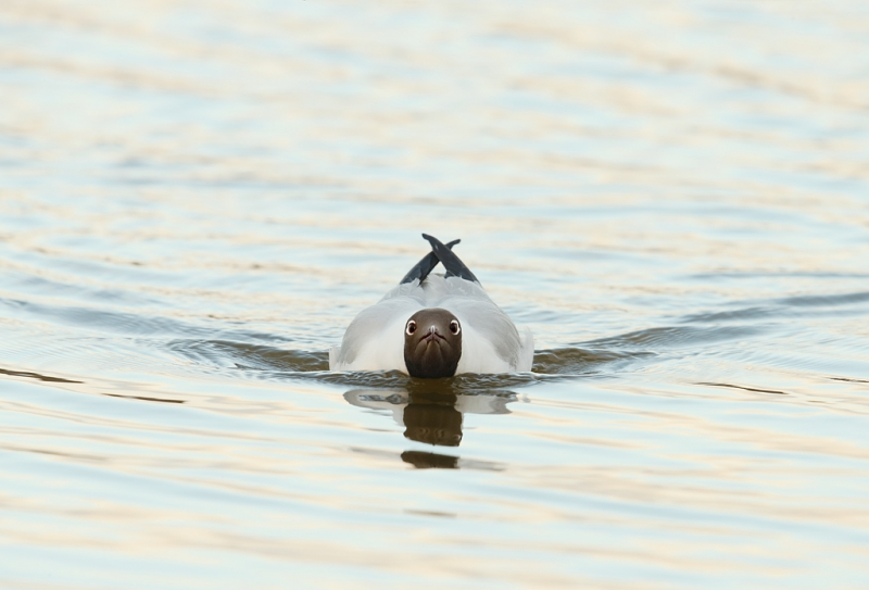 black-headed-gull-swimming-pugnaciously-_q8r9791-texel-holland