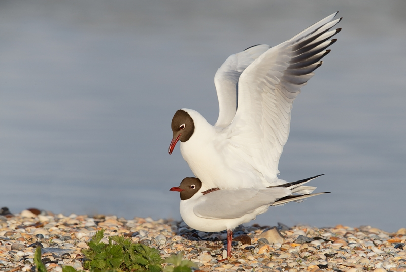 black-headed-gulls-copulating-_q8r0789-texel-holland