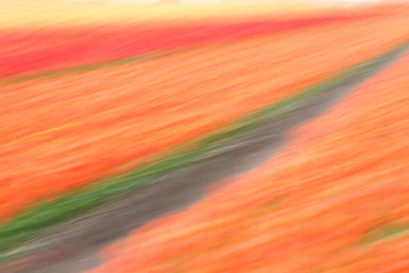 tulip-field-diagonal-pan-blur-_a1c1375-lisse-holland