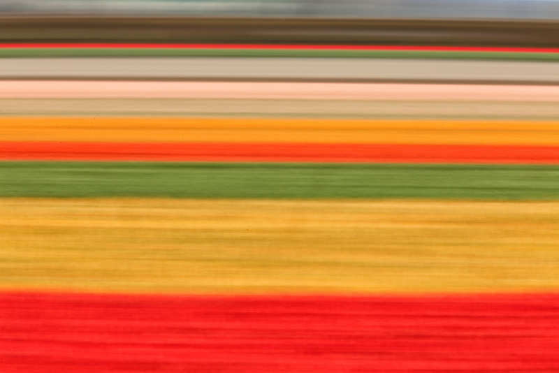 tulip-field-horizontal-pan-blur-_a1c8784-lisse-holland