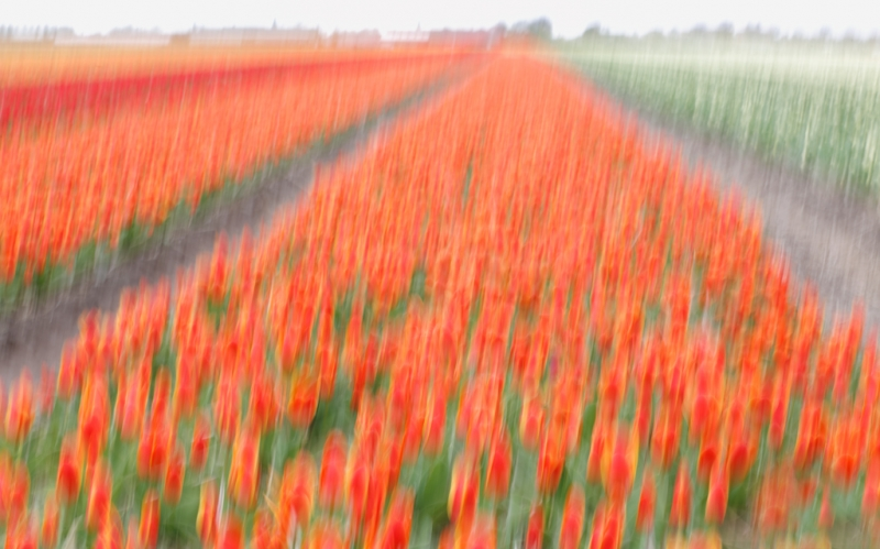 tulip-field-vertial-pan-blur-_a1c1351-lisse-holland