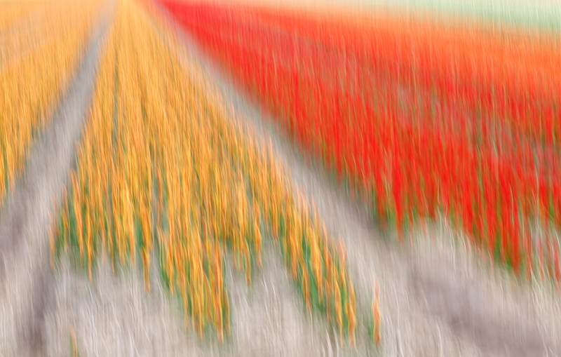 tulip-field-vertical-pan-blur-_a1c1226-lisse-holland