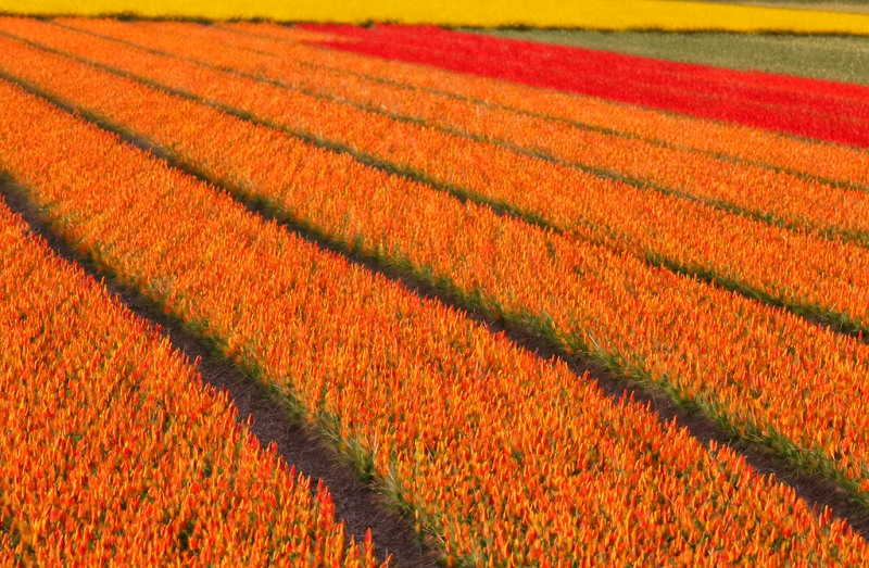 tulip-fields-sharp-soft-multiple-exposure-_a1c0755-lisse-holland