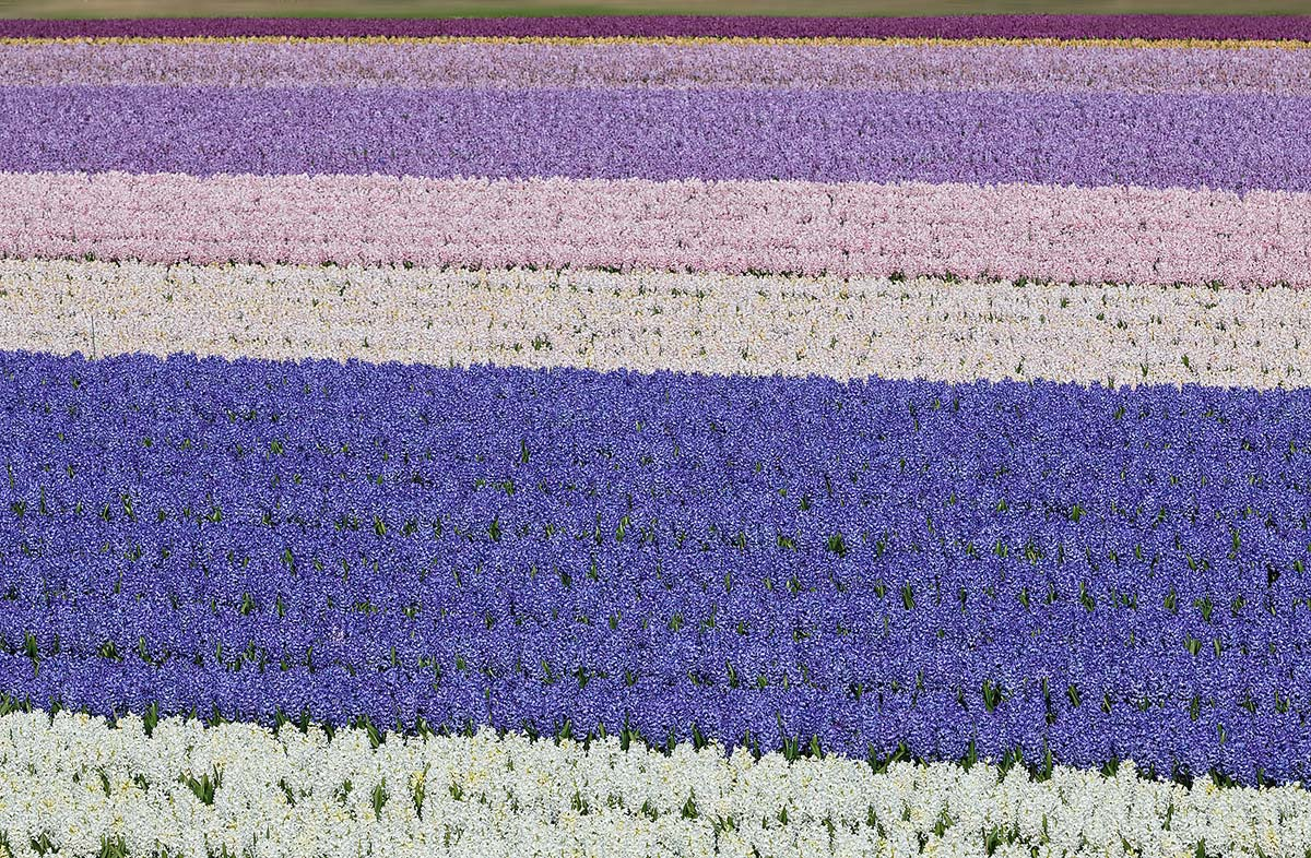 hyacinth-field-f-22-_a1c0566-lisse-holland