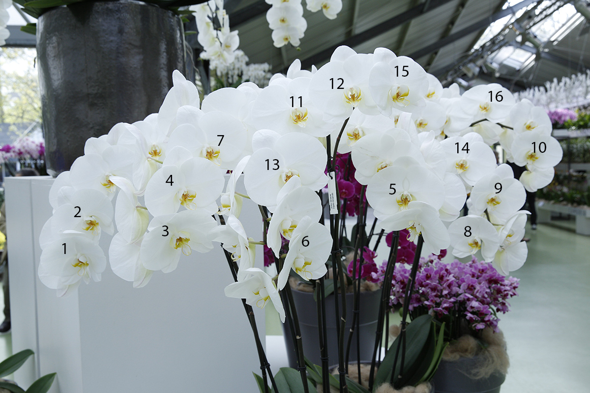 orchid-which-one-_45c4014-keukenhof-lisse-holland