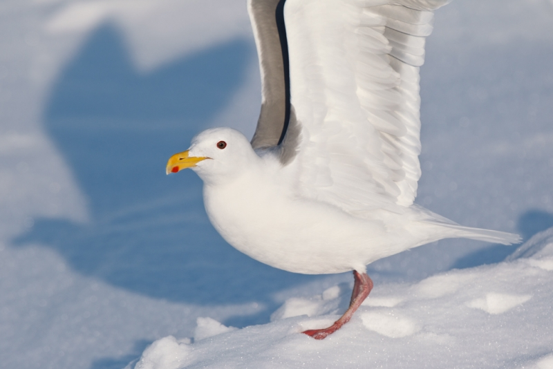glaucous-winged-gull-with-wings-raised-_90z6454-rausu-hokkaido-japan