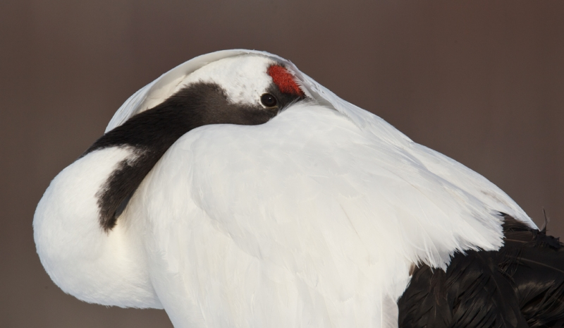 redcrowned-crane-tight-sleeping-pose-_90z2639-akan-crane-center-hokkaido-japan
