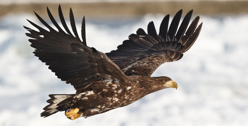 white-tailed-sea-eagle-tight-flight-_90z6531-rausu-hokkaido-japan