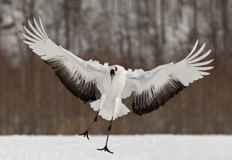 red-crowned-crane-braking-to-land-_y9c8491-akan-crane-center-hokkaido-japan
