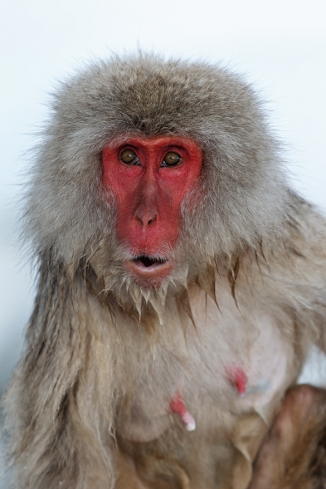 snow-monkey-old-female-_90z4047-jigokudani-yaenkoen-naganoprefecture-japan