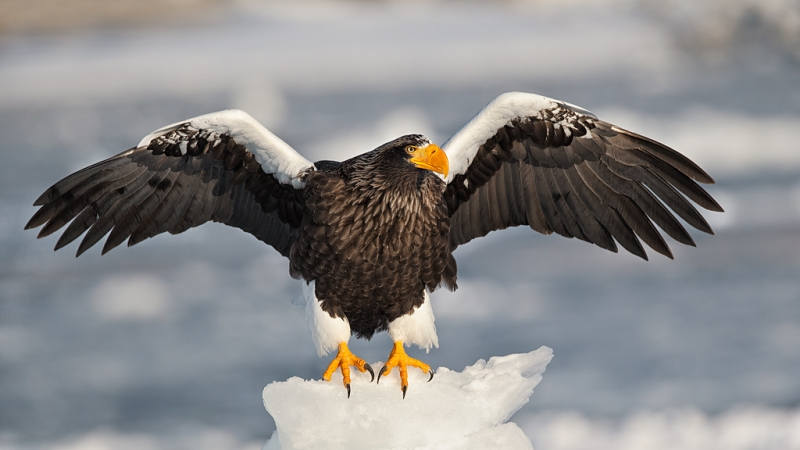 stellers-sea-eagle-impr-on-snow-with-wings-raised-_90z6395-rausu-hokkaido-japan