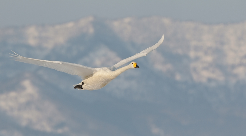 whooper-swan-in-flight-against-mountain-_90z7119-lake-kussharo-hokkaido-japan