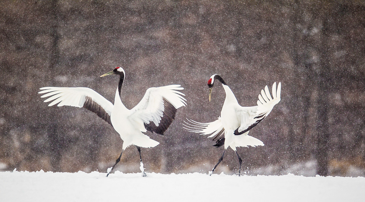 red crowned crane image need your help opinion arthur morris birds