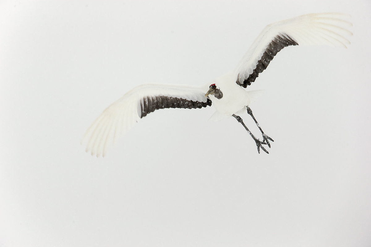 red-crowned-crane-in-flight-in-snow-_y7o1199-hokkaido-japan_0