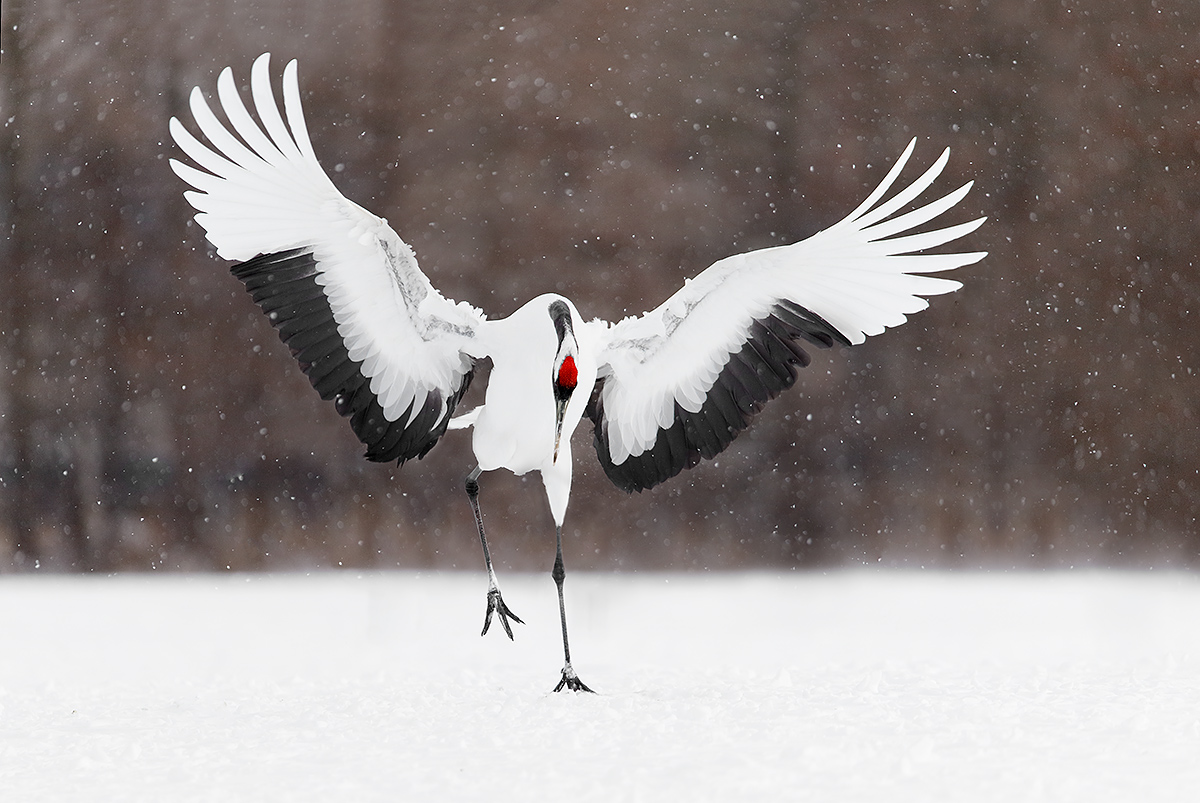 red-crowned-crane-landing-display-parts-of-3-cranes-removed-impr-_y5o7632-hokkaido-japan