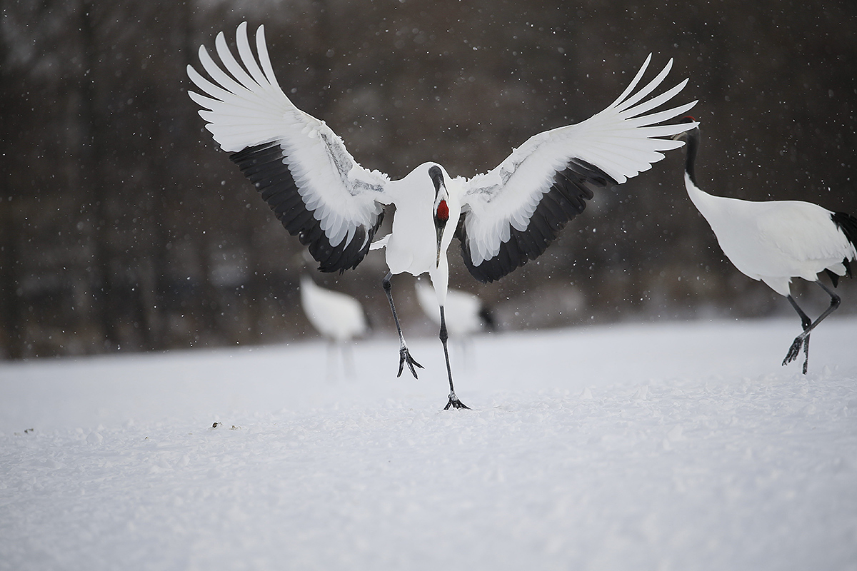 red-crowned-crane-orig-3-cranes-removed-_y5o7632-hokkaido-japan