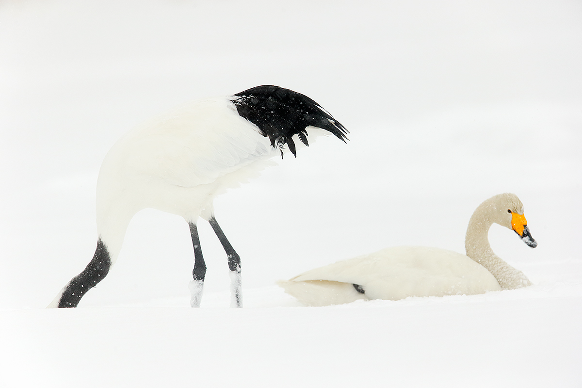 red-crowned-crane-whooper-swan-in-snow-_y7o1466-hokkaido-japan_0