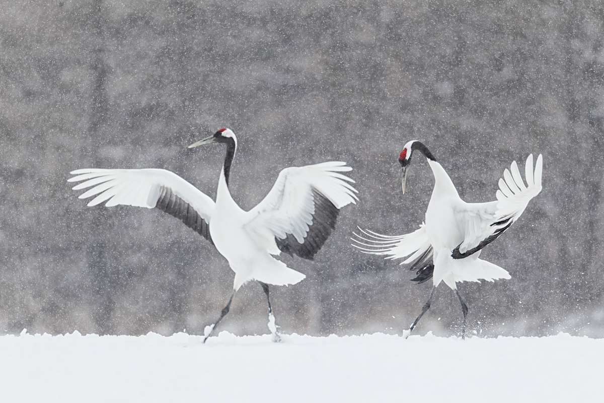 red-crowned-cranes-displaying-in-snow-natures-best-honored-_90z9944-tsurui-itoh-sanctuary-hokkaido-japan.jpg