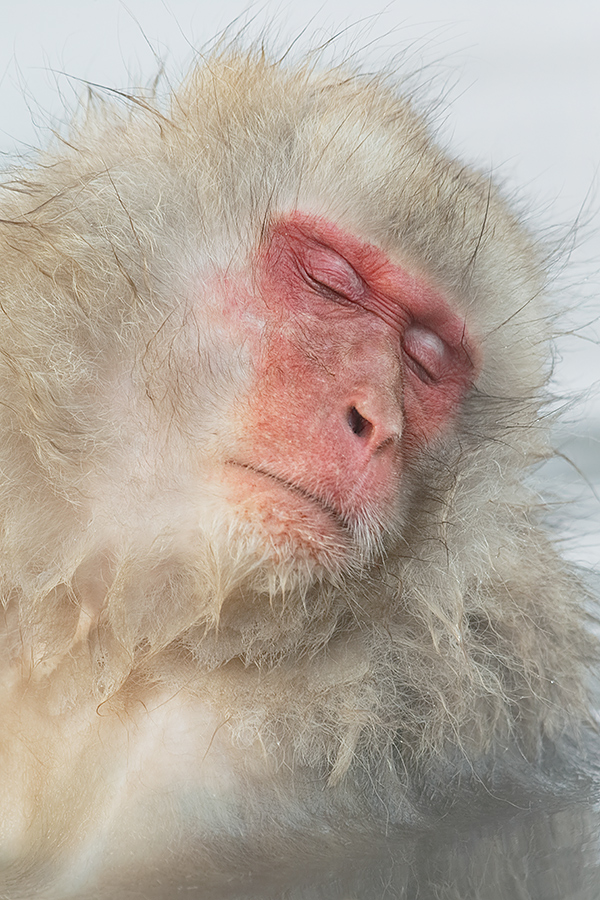 snow-monkey-at-rest-_y5o0501-jigokudani-yaenkoen-nagano-prefecture-japan