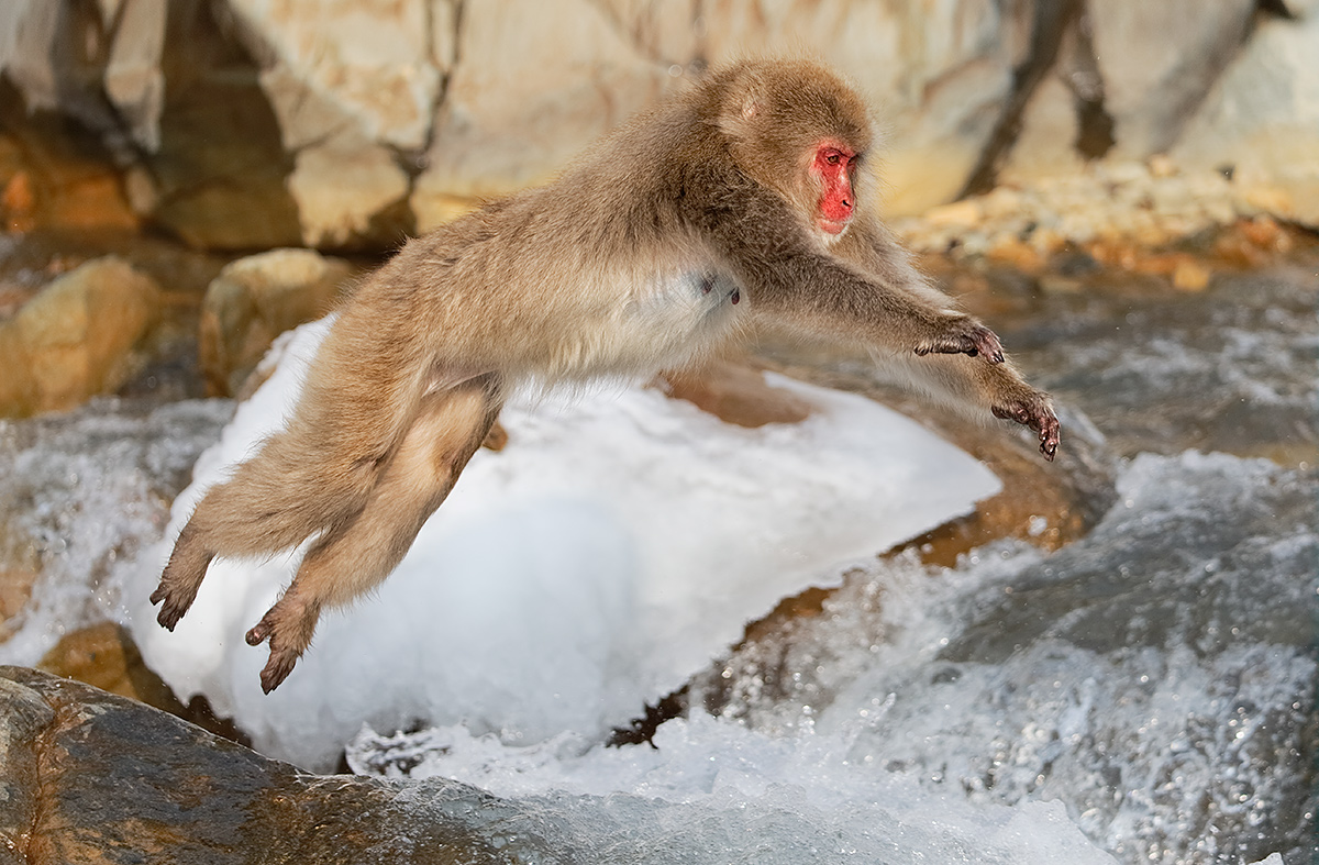 snow-monkey-jumping-across-stream-_y5o8682-jigokudani-yaenkoen-nagano-prefecture-japan