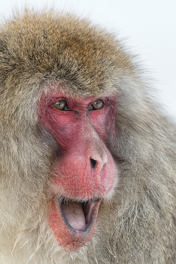 snow-monkey-with-mouth-open-_y5o0417-jigokudani-yaenkoen-nagano-prefecture-japan