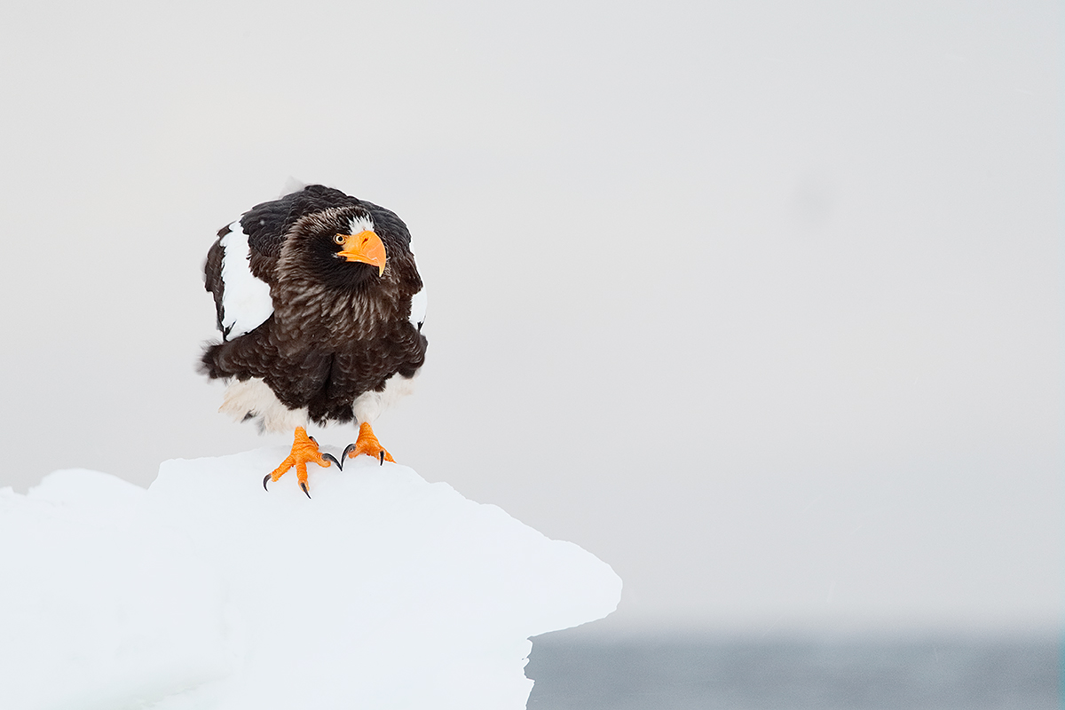 stellers-sea-eagle-on-ice-_y5o9381-hokkaido-japan