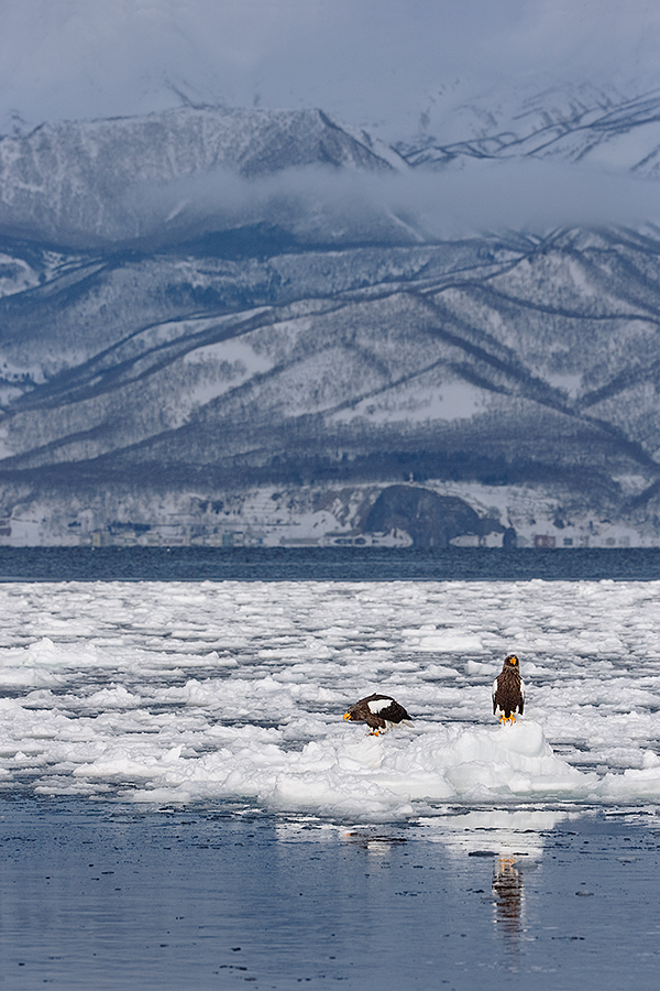 stellers-sea-eagles-on-pack-ice-in-front-of-rausu-_y7o9297-hokkaido-japan