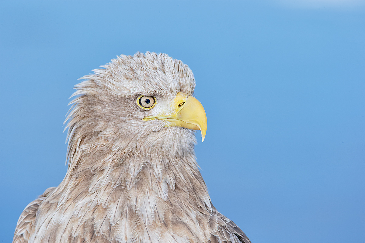 white-tailed-sea-eagle-head-portrait-_y7o9548-hokkaido-japan