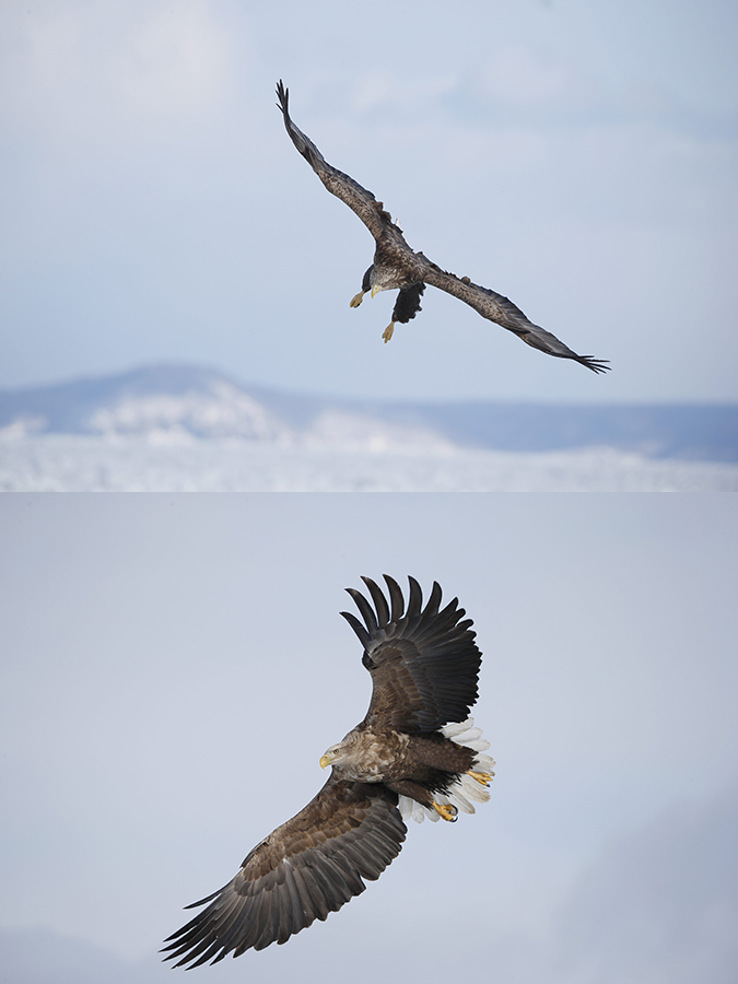 white-tailed-sea-eagles-flight-originals-_y7o9831-hokkaido-japan