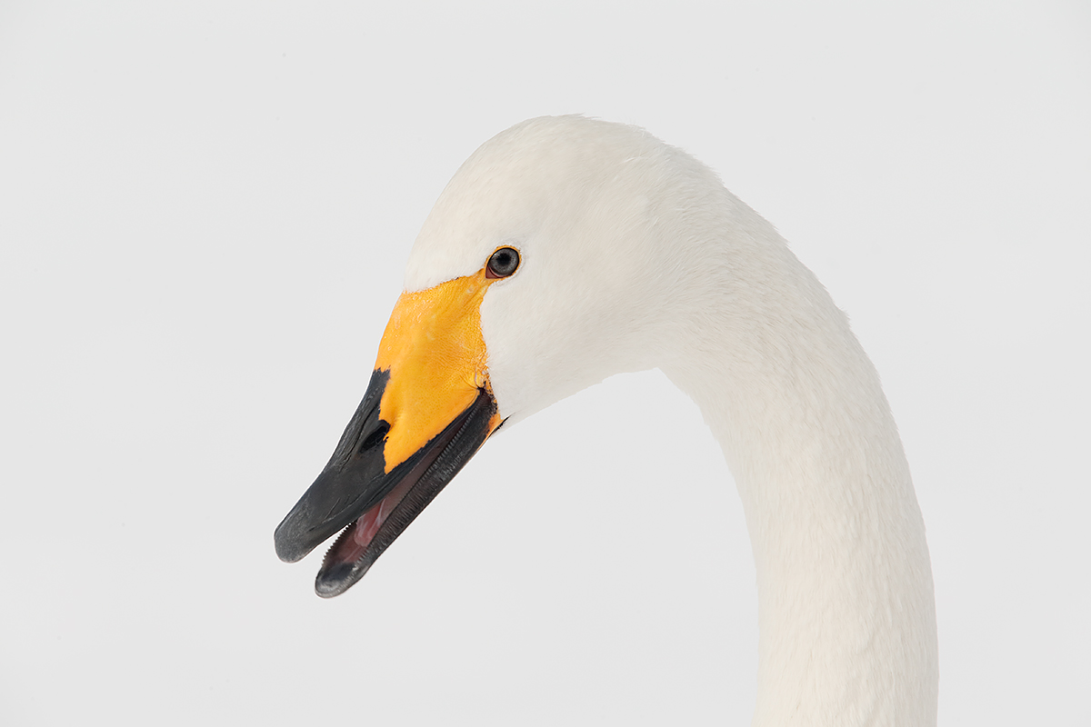 whooper-swan-calling-2nd-head-removed-_y5o8834-hokkaido-japan-copy
