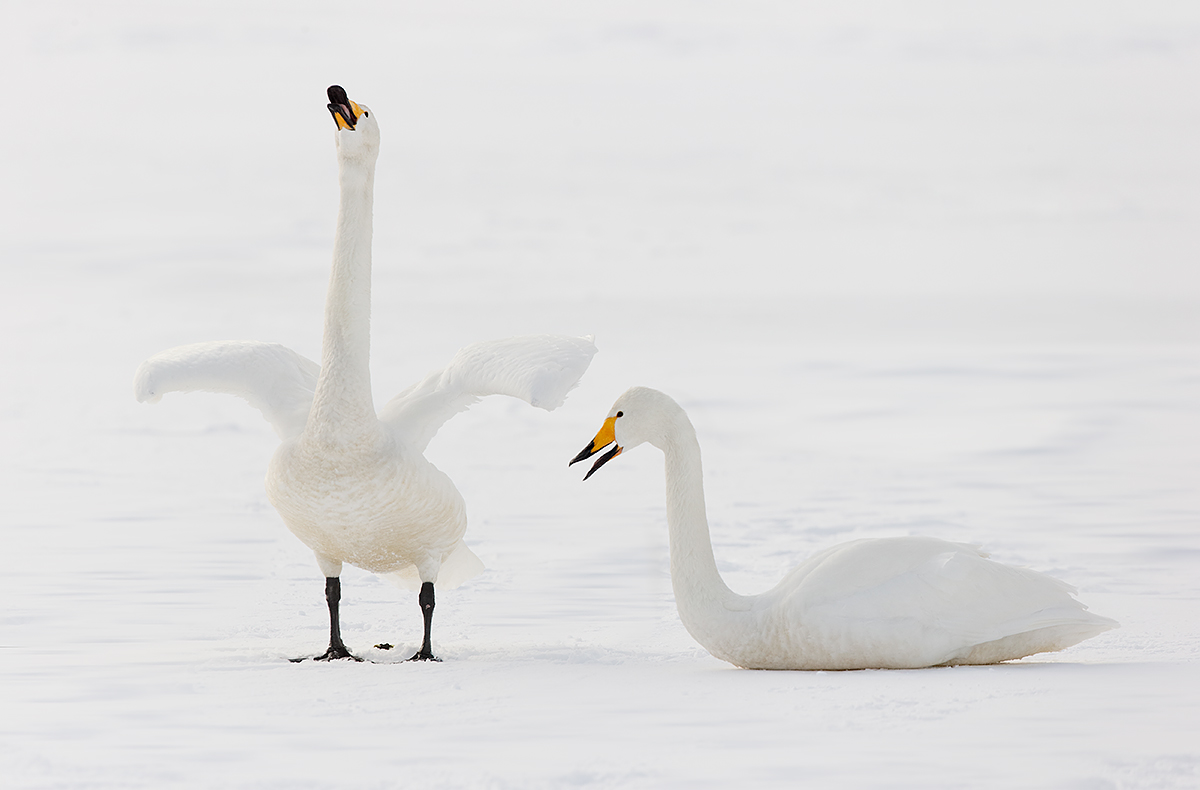 whooper-swan-male-displaying-_y7o8616-hokkaido-japan