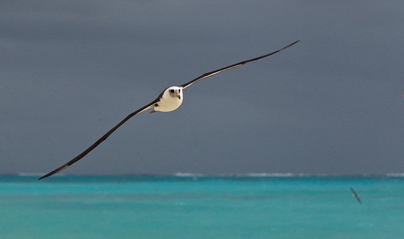 laysan-albatross-over-lagoon-w-stormy-sky-_y9c9793-midway-atoll-nwr