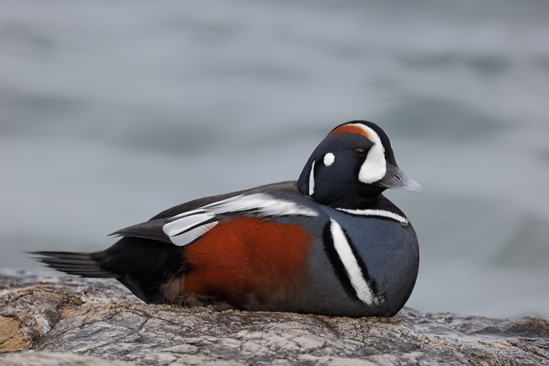 harlequin-duck-drake-resting-on-rock-_09u9477-barnegat-jetty-nj