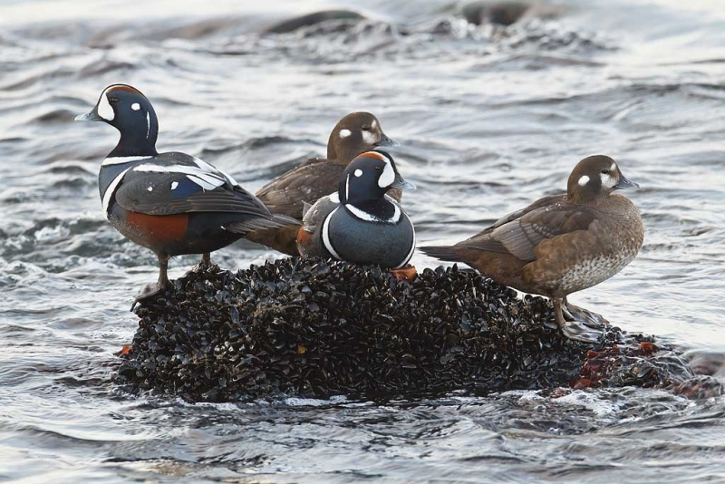 harlequin-duck-two-pair-on-rock-_y9c1550-barnegat-jetty-barnegat-light-nj