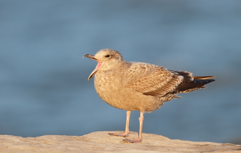 herring-gull-first-winter-plumage-beginning-yawn-_09u0725-barnegat-jetty-nj
