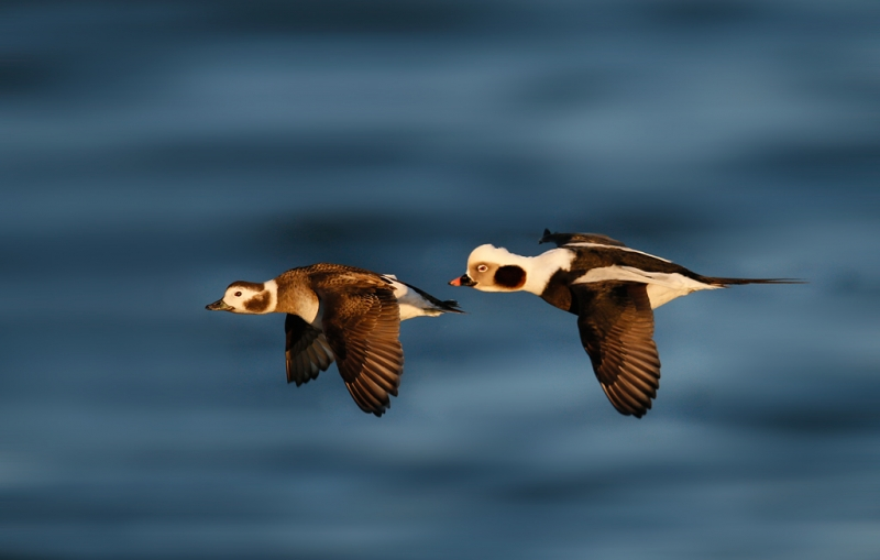 long-tailed-duck-pair-in-flight-bkgr-repair-_q8r0772-barnegat-jetty-nj