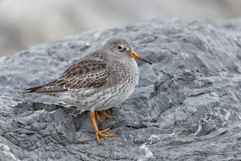 purple-sandpiper-resting-on-rock-_09u9630-barnegat-jetty-nj