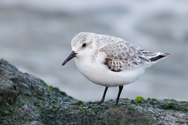sanderling-first-winter-on-rock-_09u0545-barnegat-jetty-nj