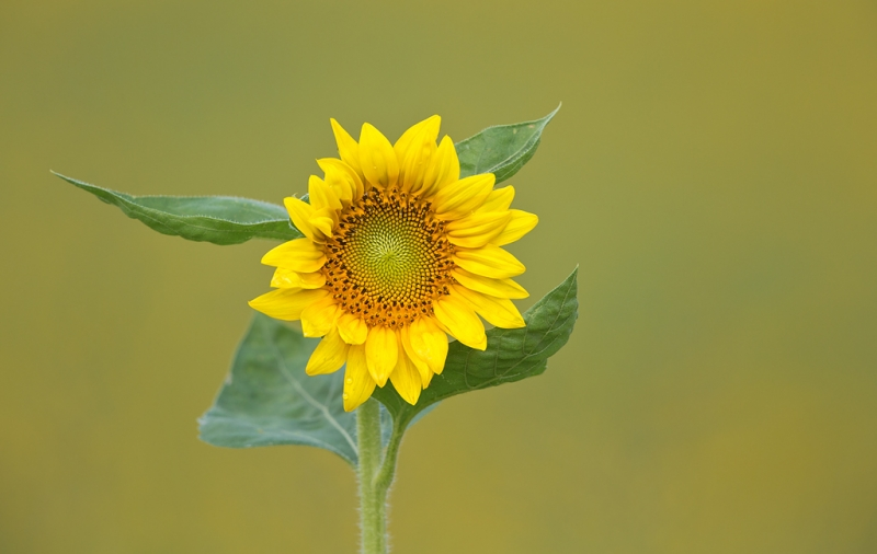 sunflower-at-f-6-3_a1c7071-newton-nj
