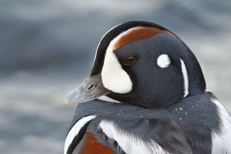 harlequin-duck-drake-head-portrait-_y9c1643-barnegat-jetty-barnegat-light-nj_1