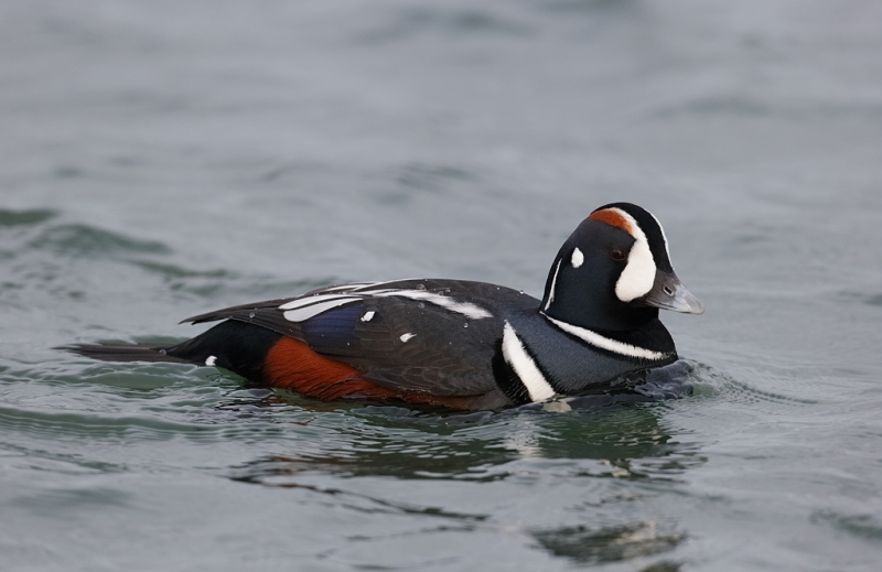 harlequin-duck-drake-swimming-_09u9546-barnegat-jetty-nj
