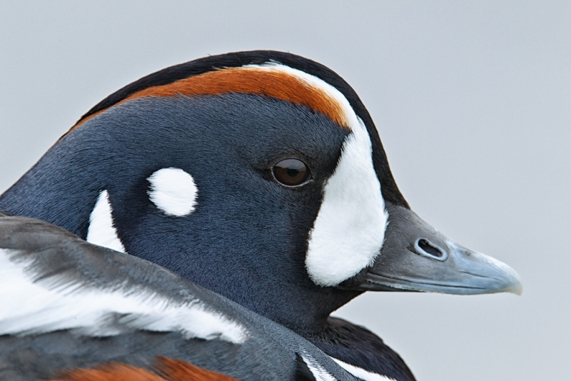 harlequin-duck-head-portrait-1120mm-1-8-sec-_y9c2069-barnegat-jetty-barnegat-light-nj