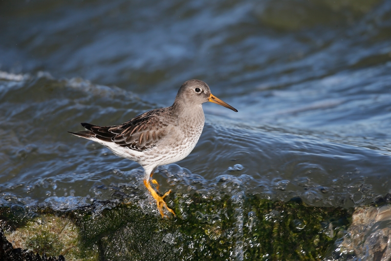 purple-sandpiper-_q8r4851-barnegat-jetty-nj