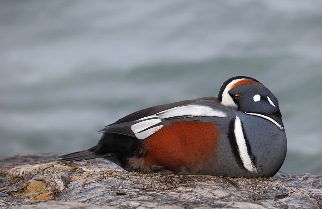 Two Drake Harlequin Duck Images; So Many Lessons « Arthur ... - photo#38
