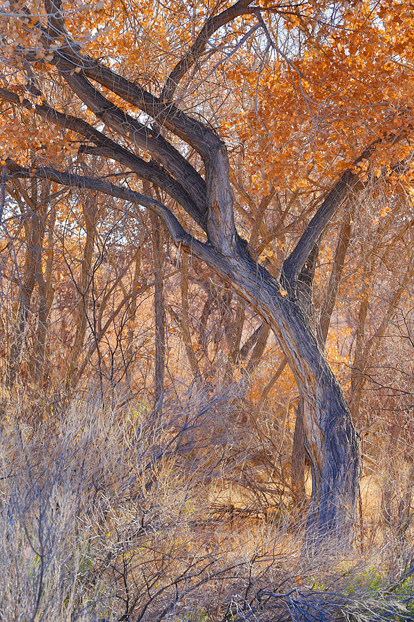 backlit-cottonwoods-hdr-_a1c0364-bosque-del-apache-nwr-san-antonio-nm