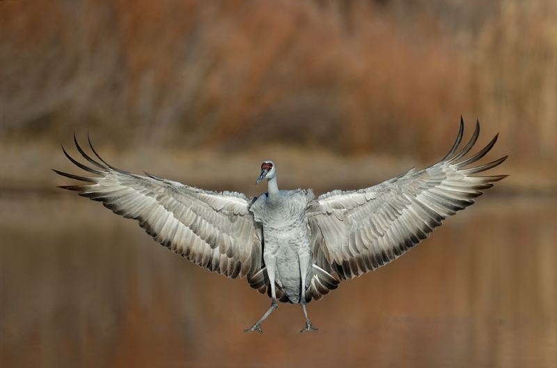 sandhill-crane-braking-to-land-_09u5313-bosque-del-apache-nwr-san-antonio-nm