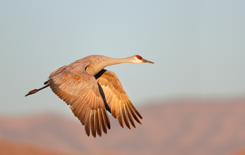 sandhill-crane-flight-downstroke-eml-_09u1009-bosque-del-apache-nwr-san-antonio-nm