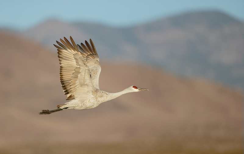 sandhill-crane-in-flight-bpn-wings-fully-up-_09u0119-bosque-del-apache-nwr-san-antonio-nm